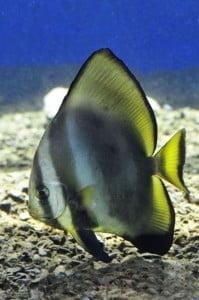Acquario Cala Gonone - pesce pipistrello