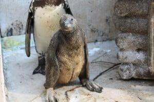fasano pinguino 021