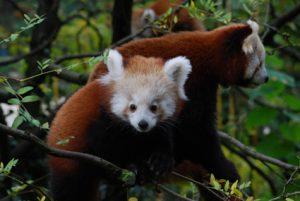 panda rosso  cucciolo parco natura viva