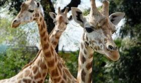 bioparco roma 3_Giraffe