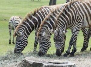 safari park pombia Zebre