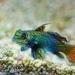 pesce mandarino_Acquario di Genova