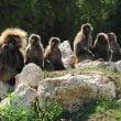 natura viva scimmie gelada