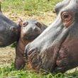Parco Natura Viva: un baby ippopotamo al parco