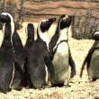 Zoomarine: giornata mondiale dei pinguini il 25 aprile